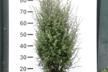 Jeneverbes of Juniperus comm. 'Suesica'