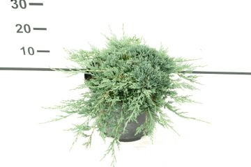 Juniperus hor. 'Icee Blue' of jeneverbes