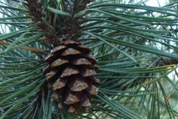Pinus mugo of